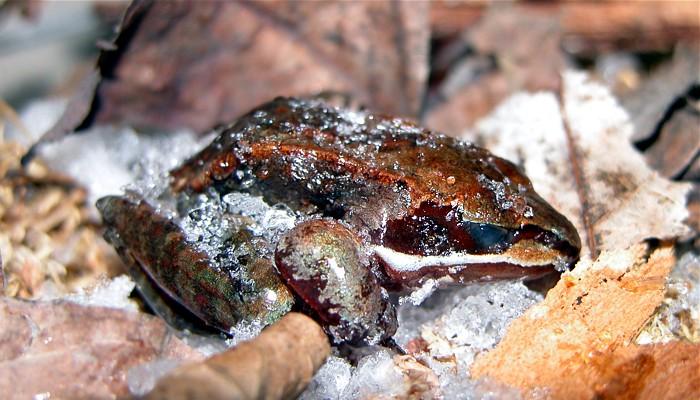 Las ranas que pasan el invierno congeladas y vuelven a la vida en primavera