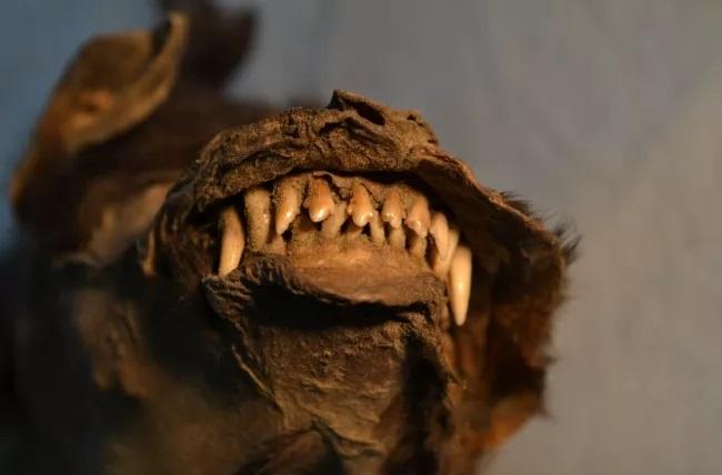 La última cena de este cachorro de hace 14 mil años fue un rinoceronte lanudo