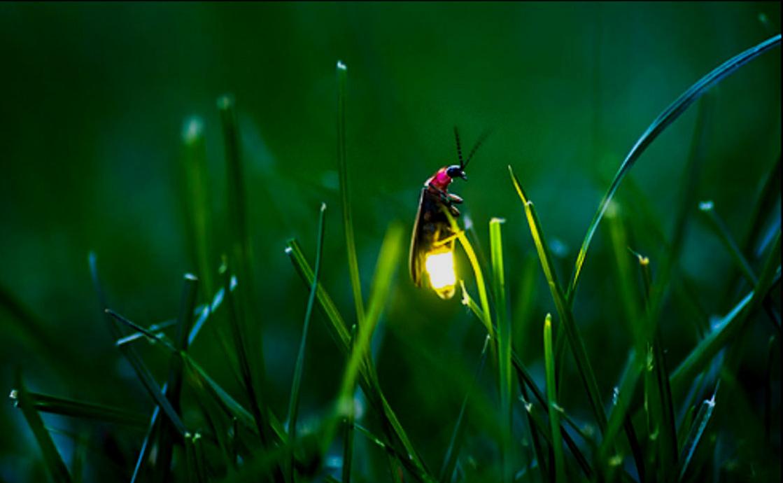 ¿Por qué brillan las luciérnagas?