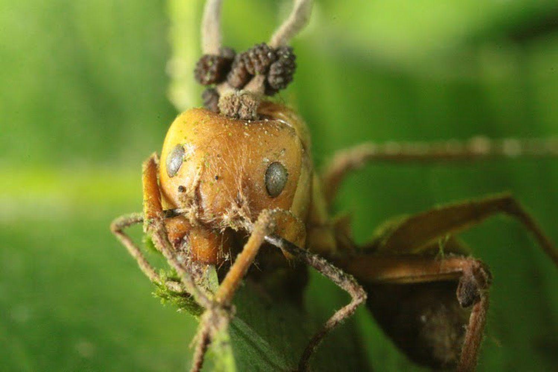 El terror de las hormigas es un hongo que las vuelve zombies