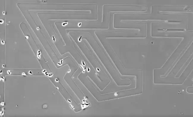 Las células y los organismos unicelulares pueden encontrar la ruta más eficiente en un laberinto
