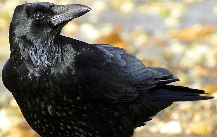Los cuervos parecen ser capaces de pensar conscientemente, como los humanos