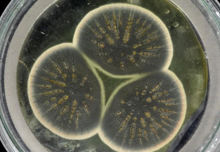 Científicos descongelan el moho de Fleming que dio origen a la penicilina y secuencian su genoma
