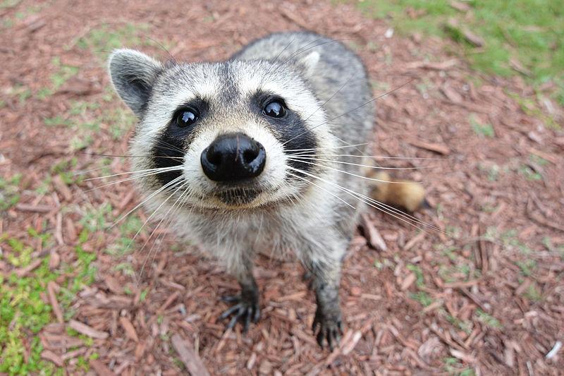 Los animales pierden el miedo a los depredadores rápidamente después de interactuar con nosotros