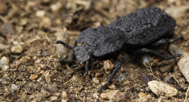Científicos descubren el secreto de la «diabólica» dureza del caparazón de este escarabajo