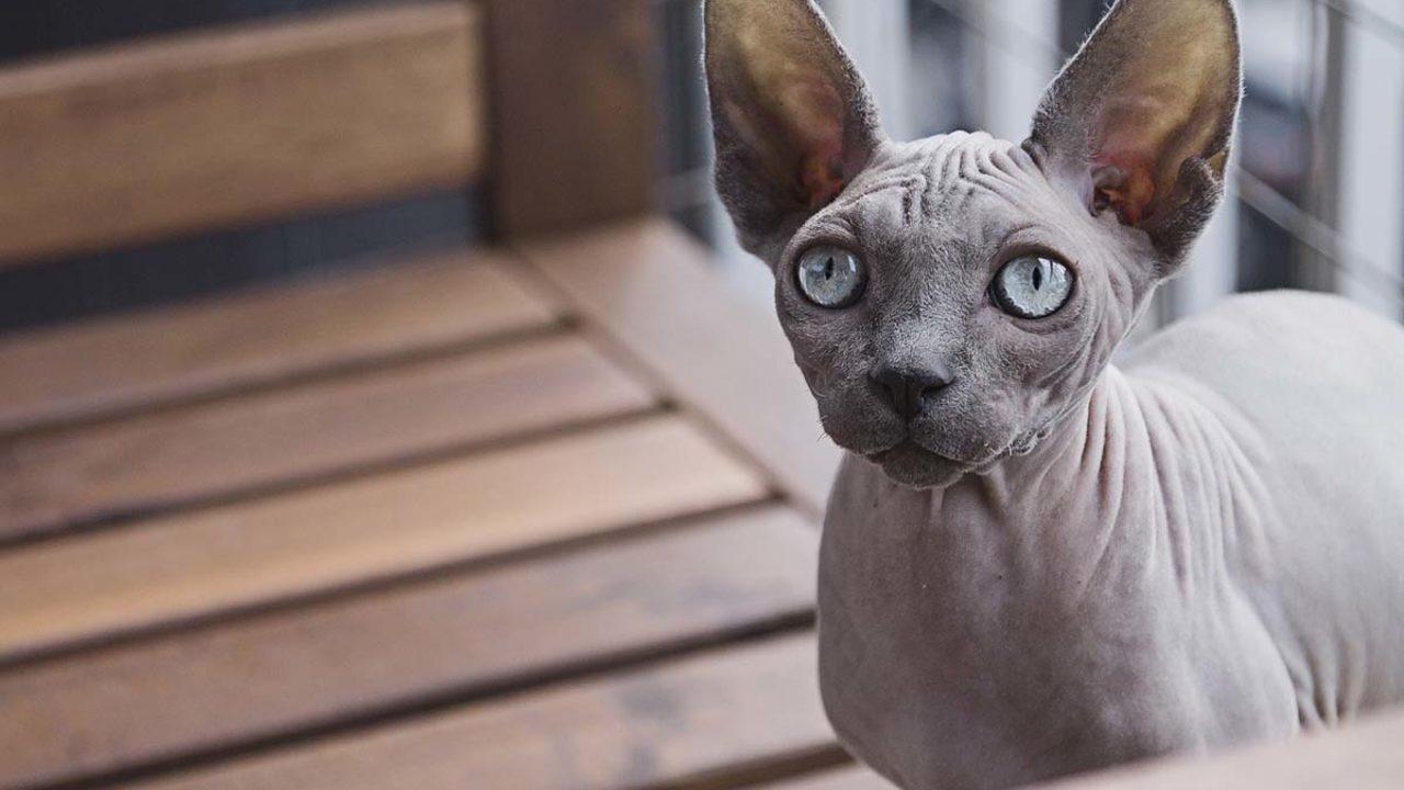 ¿Por qué los gatos egipcios no tienen pelo?