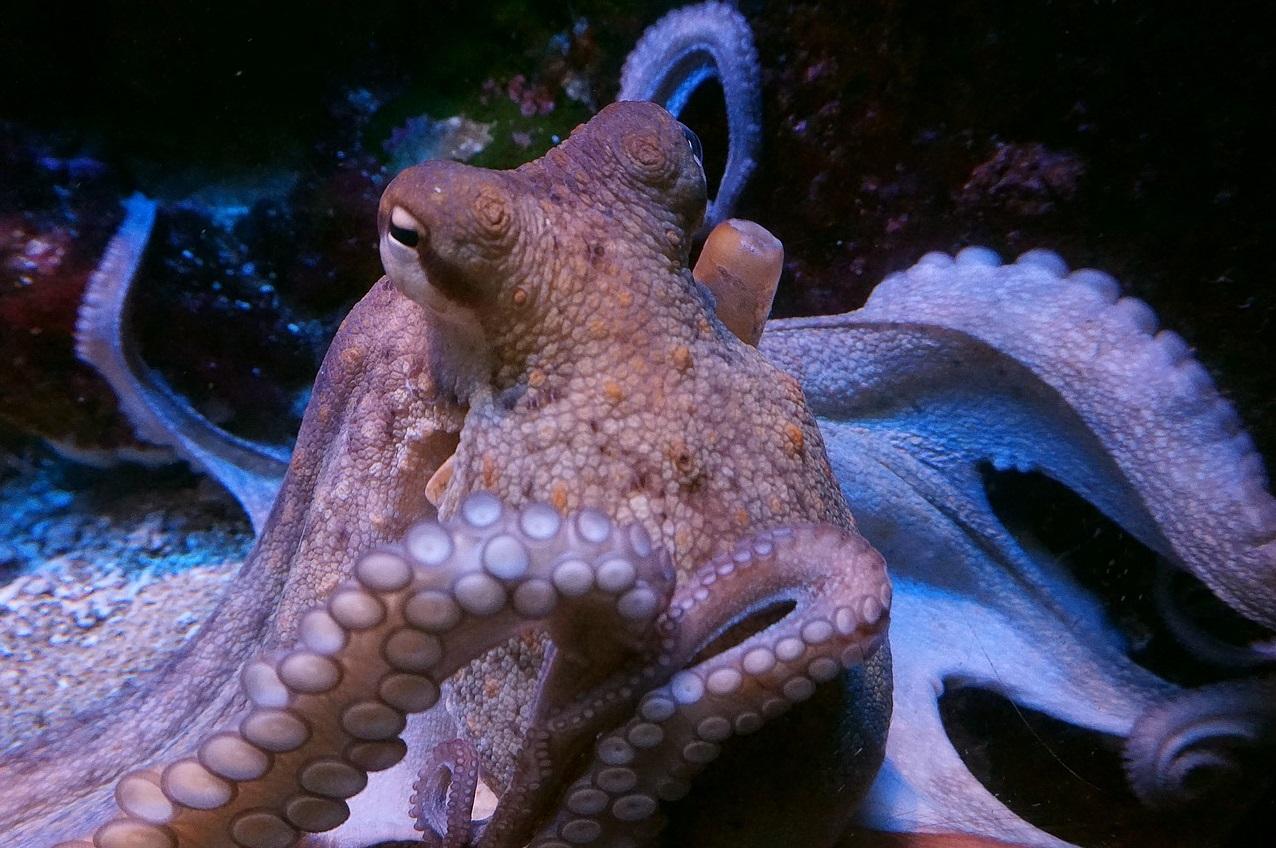 Finalmente sabemos cómo es que los pulpos pueden saborear con sus tentáculos