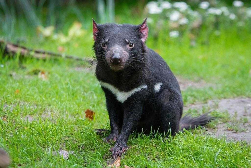 Los demonios de Tasmania regresan a Australia luego de 3 milenios