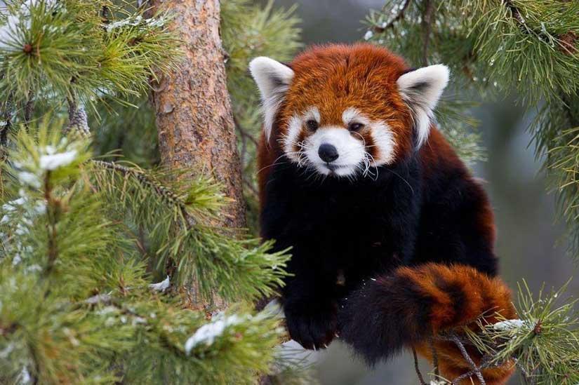 Esto es lo que debes saber sobre los pandas rojos