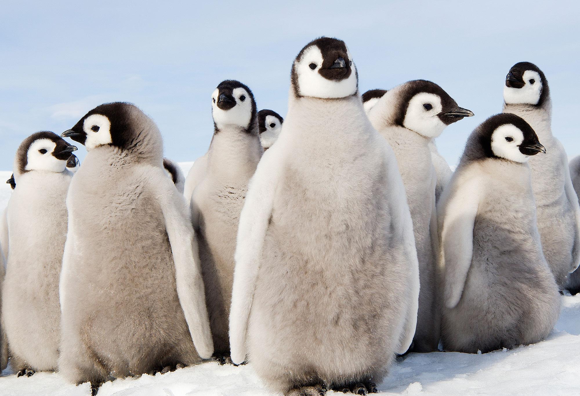 10 datos que debes saber sobre los pingüinos