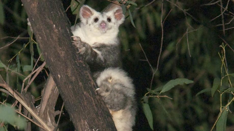 Este hermoso marsupial planeador australiano en realidad era tres especies distintas