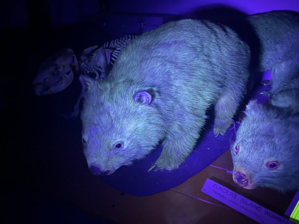 No solo los ornitorrincos: los wombats también tienen un pelaje biofluorescente