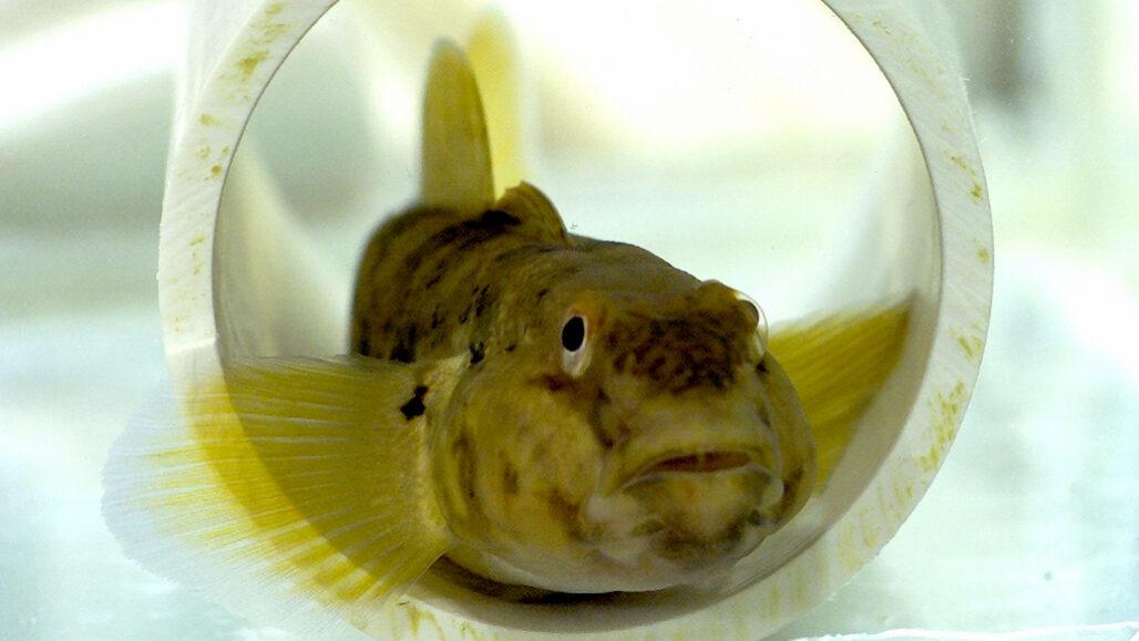 Algunos peces pueden sentir con sus aletitas como si fueran dedos