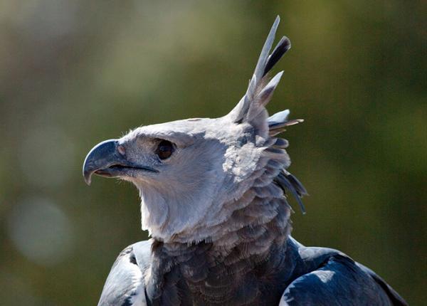 Datos increíbles sobre el águila harpía