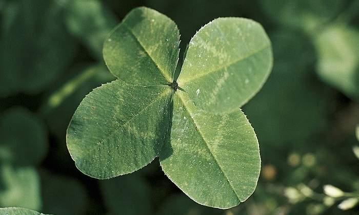 ¿Es realmente difícil encontrar un trébol de 4 hojas?