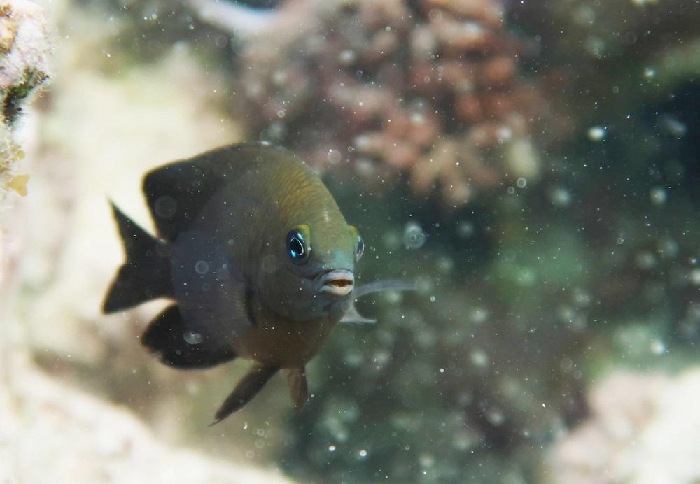 Estos ingeniosos peces parecen haber «domesticado» a unos camarones para fertilizar sus granjas de algas