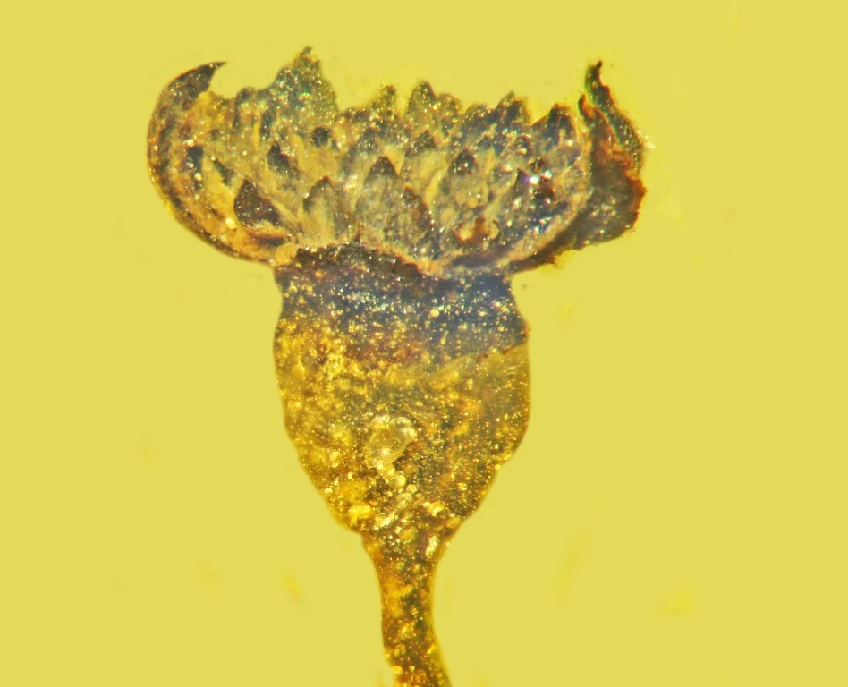 Científicos encuentran en ámbar una hermosa flor de 100 millones de años