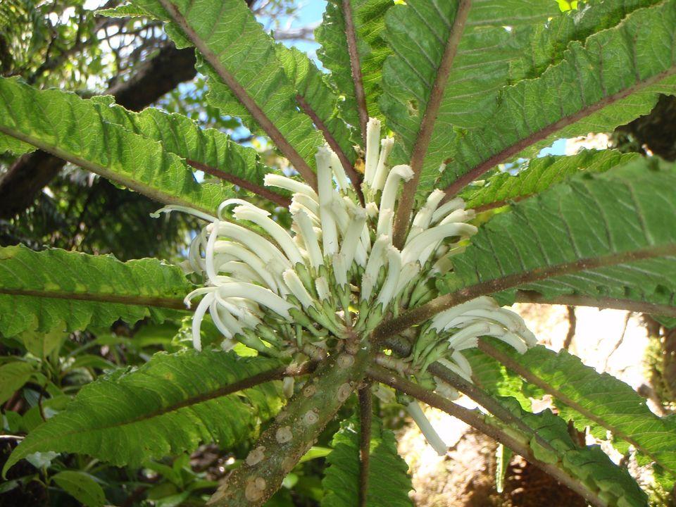 Esta hermosa flor hawaiana es la única de su tipo que existe