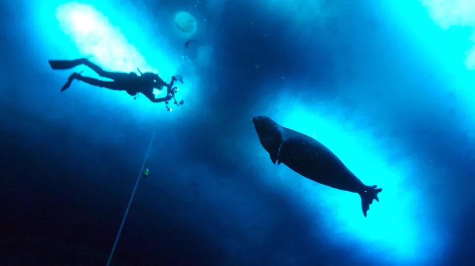 Las focas producen ruidos extraños entre sí bajo el agua, y no sabemos por qué