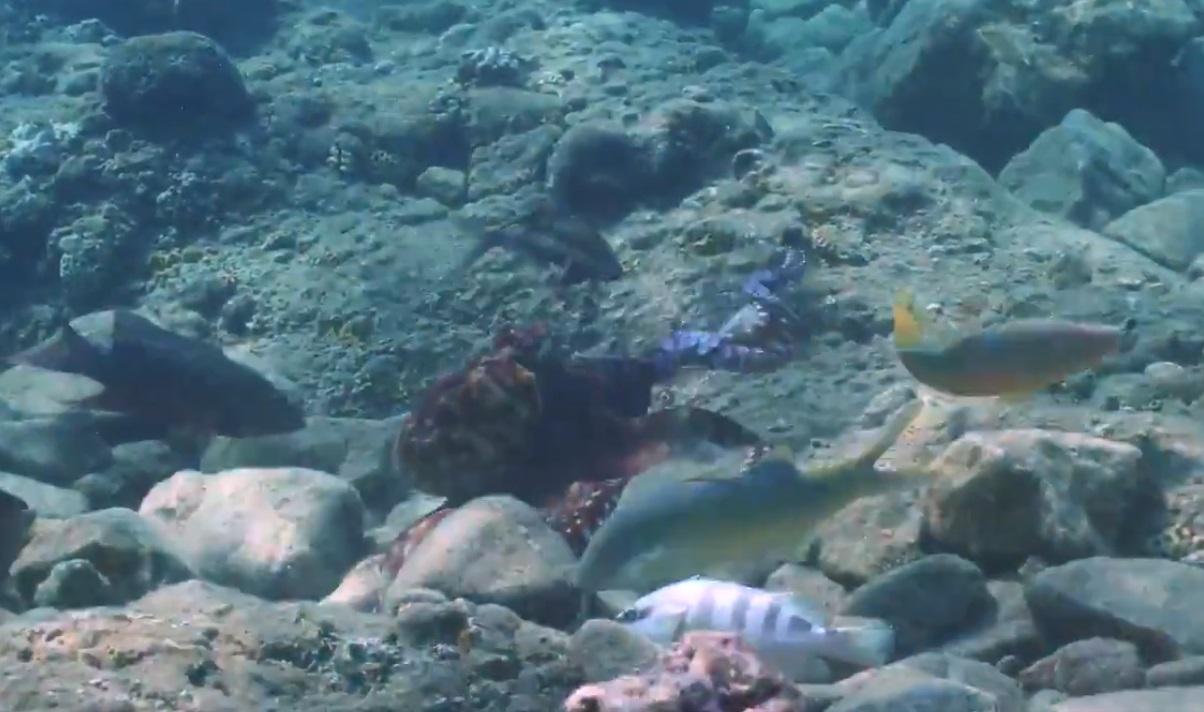Científicos captan en video a pulpos golpeando peces y la razón es un misterio