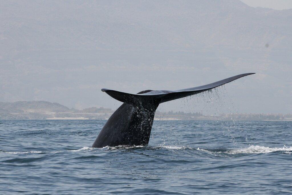 Científicos descubren una población de ballenas azules totalmente desconocida en el Océano Índico