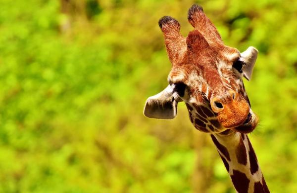 Las cosas más extrañas de las jirafas