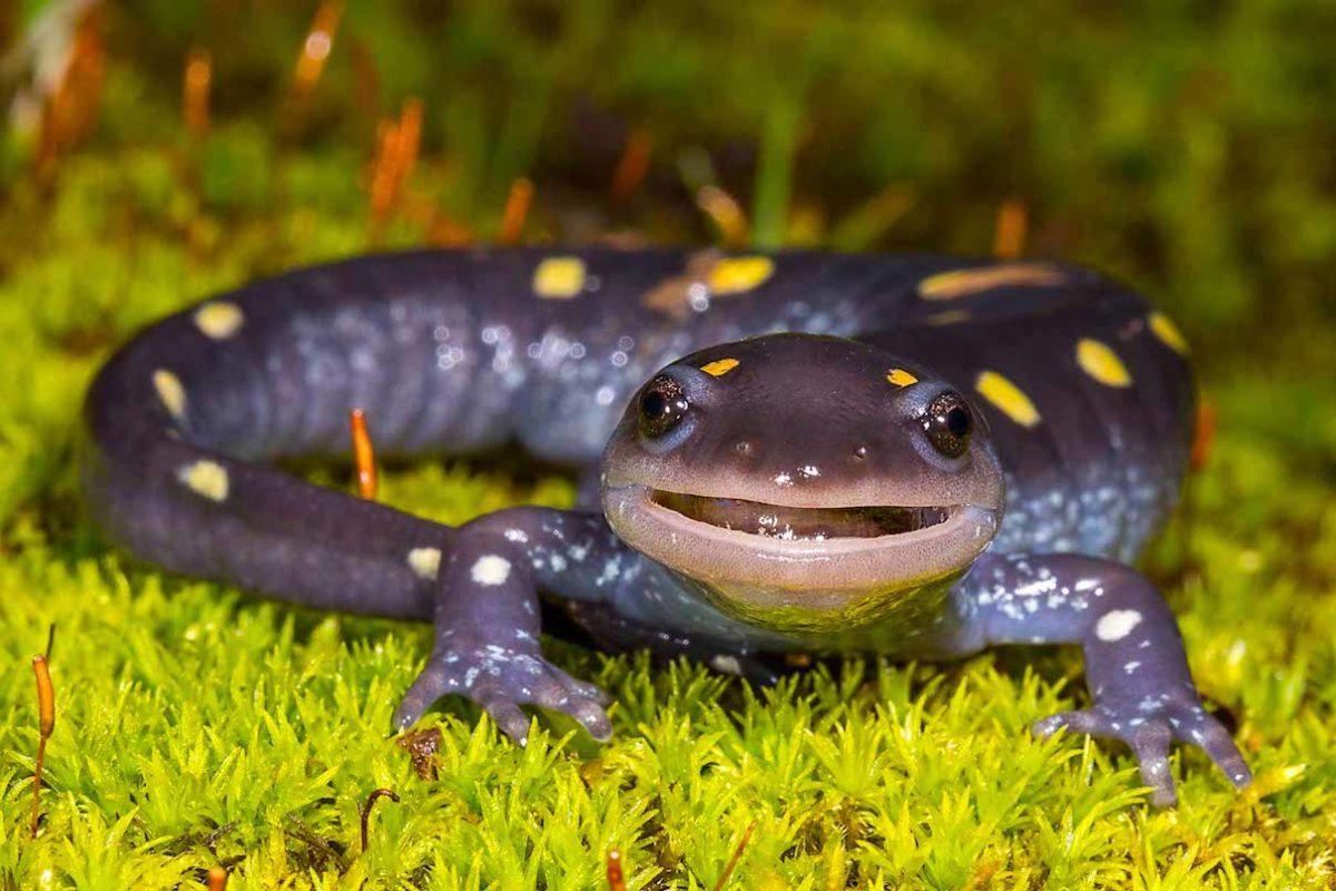 Los datos más peculiares de las salamandras