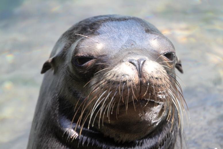 ¿Puedes distinguir una foca de un lobo marino?