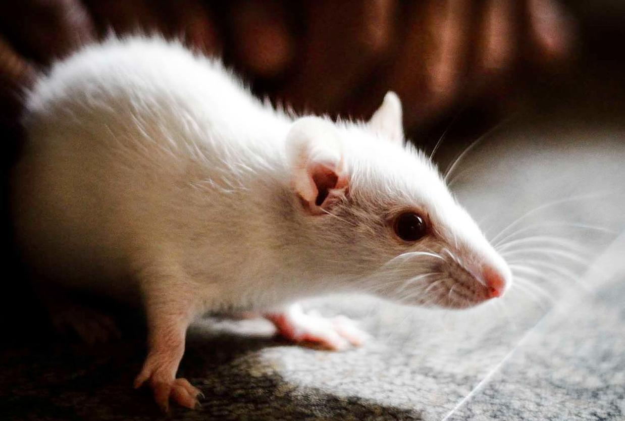 Científicos logran que ratones con parálisis vuelvan a caminar