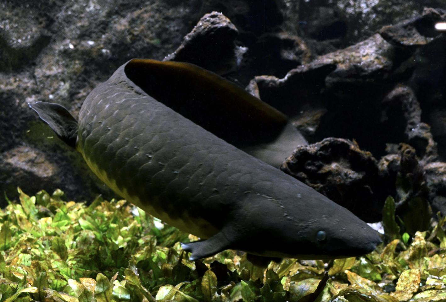 Este pez tiene el genoma más grande del mundo, hasta ahora