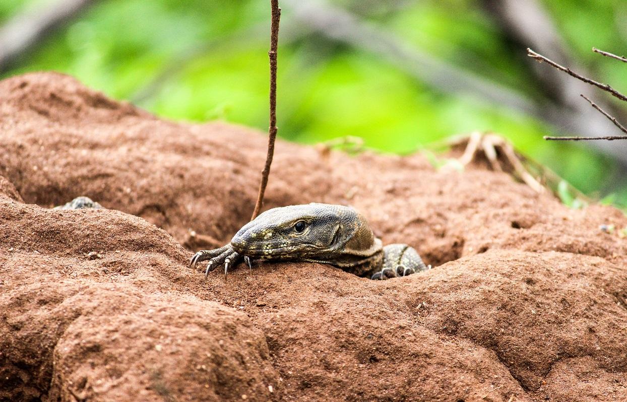 Los lagartos monitores dejan enormes sistemas de madrigueras que son utilizados animales más pequeños