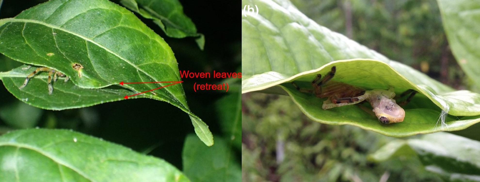 """Estas arañas cazadoras de Madagascar tejen """"trampas"""" para ranas con telaraña y hojas"""