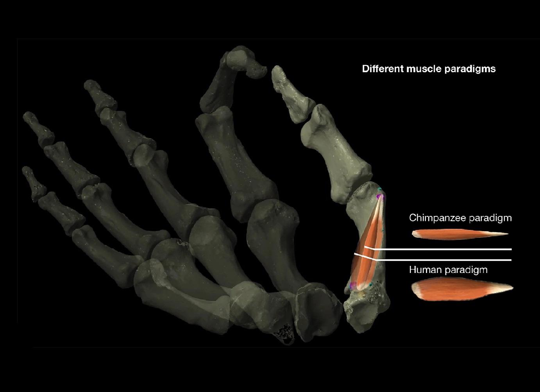 Los antiguos humanos elaboraron herramientas de piedra antes de tener pulgares oponibles