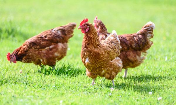 Registrado primer caso de humanos infectados con gripe aviar H5N8