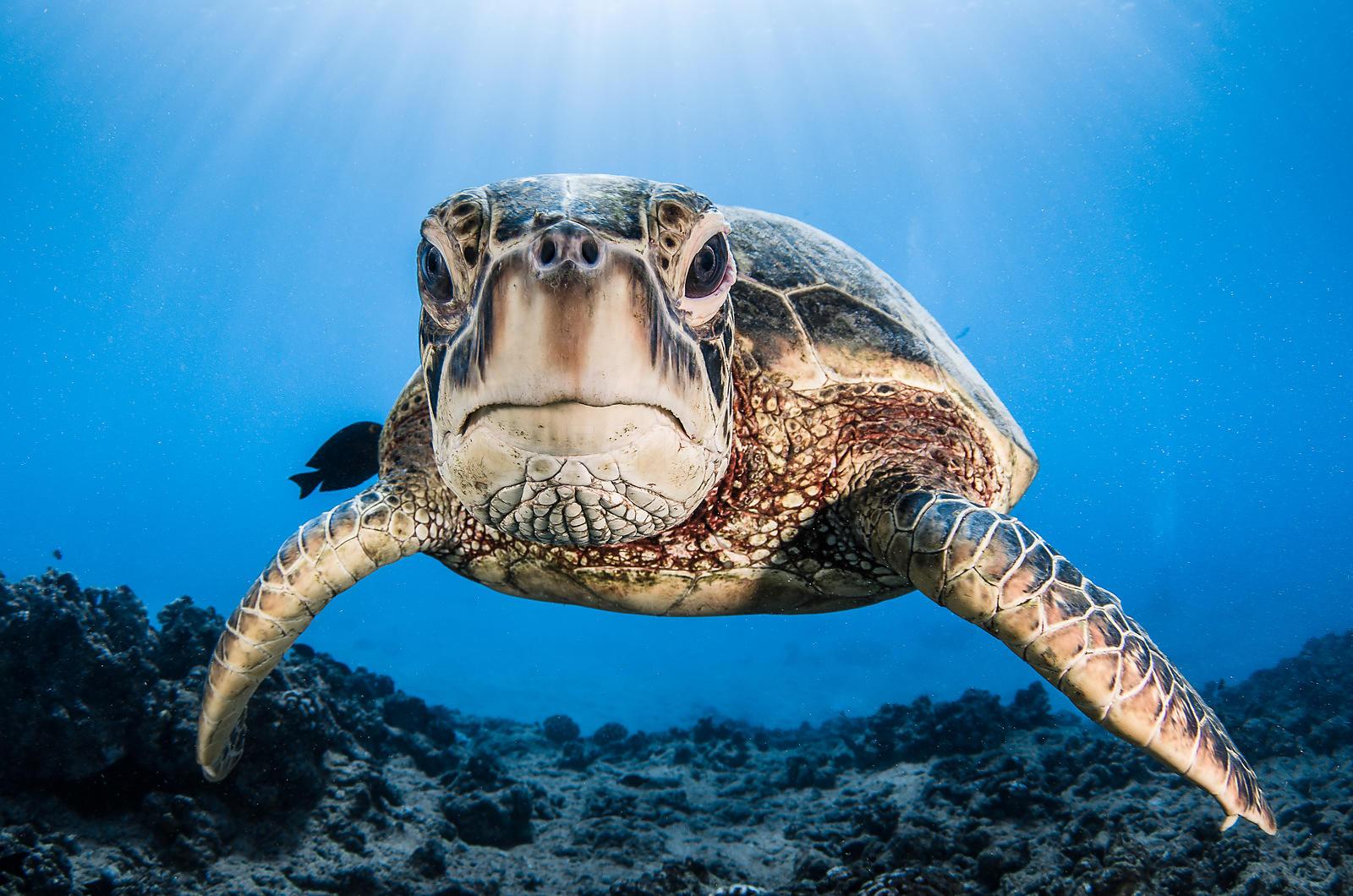 Datos de la tortuga verde que te sorprenderán