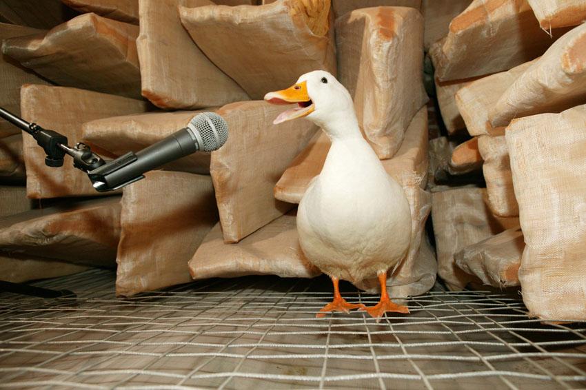 Los patos sí hacen eco pero no podemos escucharlos
