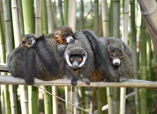 Los lémures nos enseñan que no existe una sola fórmula para el amor duradero