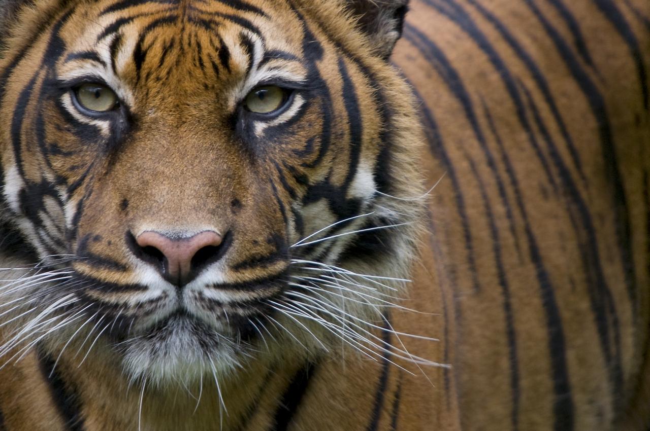 Datos que no conocías sobre los tigres