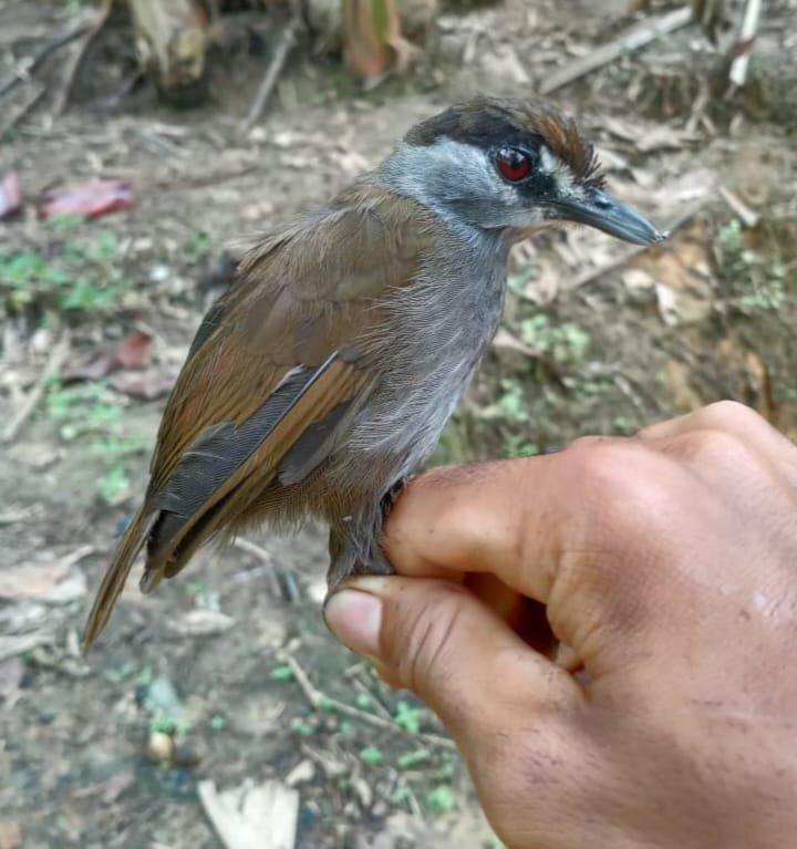 Misteriosa ave hallada en Borneo no había sido vista en más de 170 años