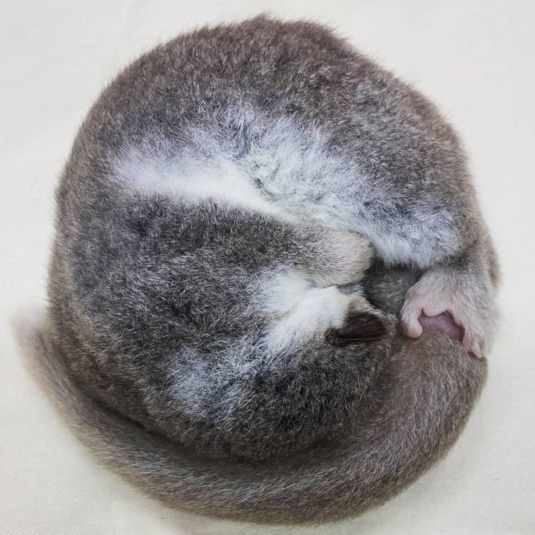 Los pequeños lémures pueden ayudarnos a resolver los secretos de la hibernación en primates