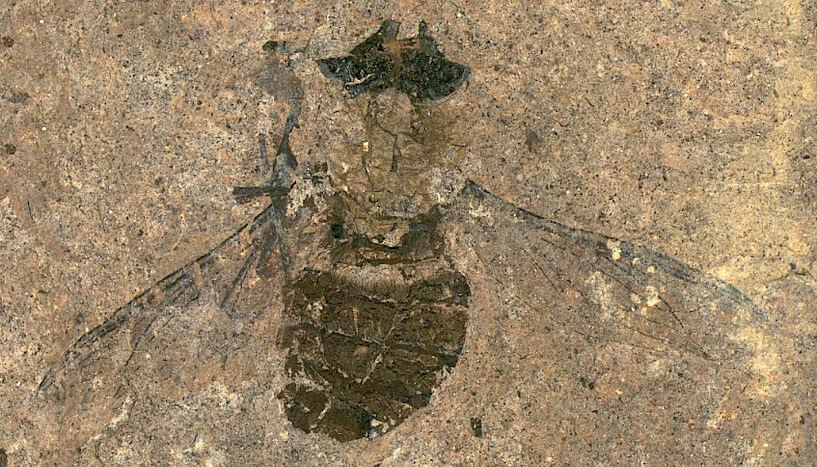 Científicos encuentran polen en el estómago de una mosca de hace 47 millones de años