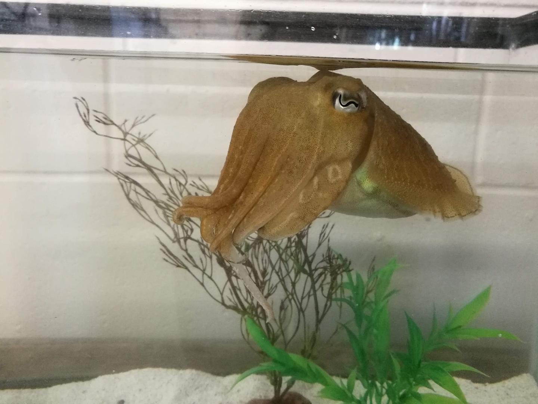 Un cefalópodo supera una prueba cognitiva diseñada para niños humanos