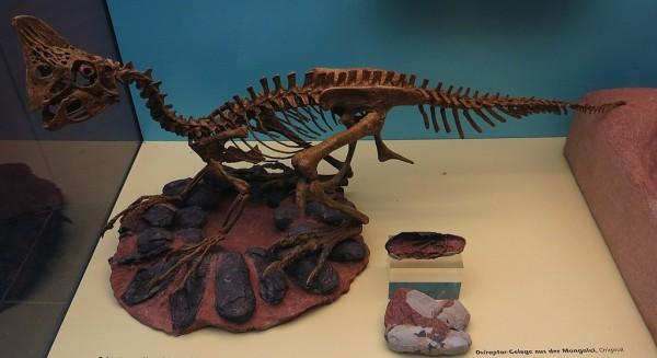 Científicos encuentran un fósil de un dinosaurio empollando un nido con huevos