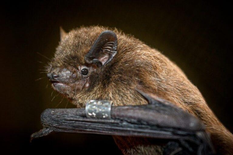El críptico sentido de orientación de los murciélagos en realidad se encuentra en su ojo