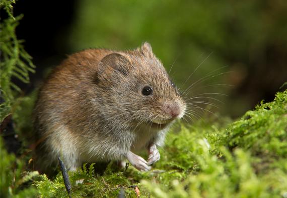 La extraña desaparición del cromosoma Y en una especie de roedor