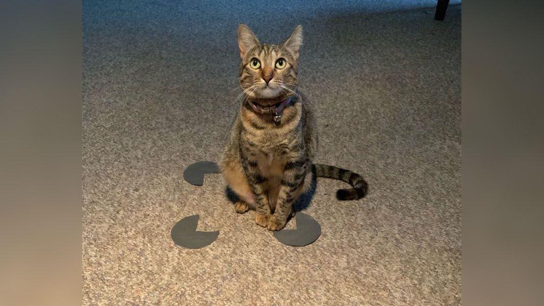 Los gatos aman las cajas incluso si son una ilusión óptica