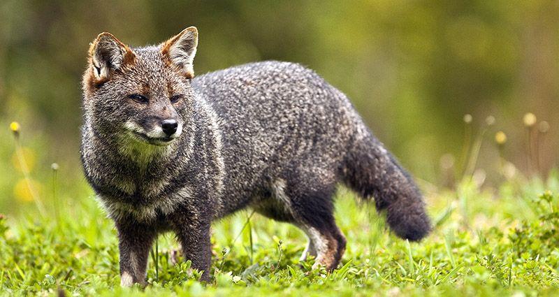 El zorro de Darwin que se encamina a la desaparición