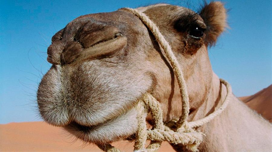 Gracias a este secreto los camellos pueden sobrevivir semanas sin beber agua