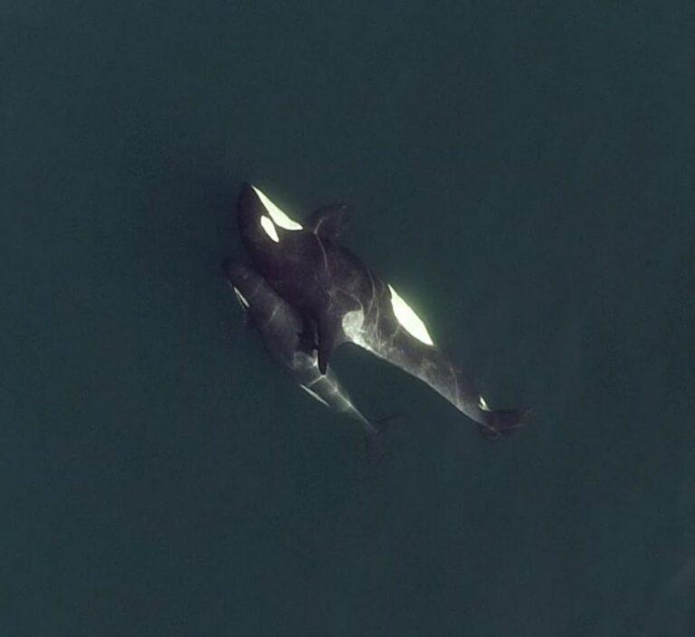 Las estructuras sociales de las orcas son tan complejas que hasta incluyen «amigos cercanos»
