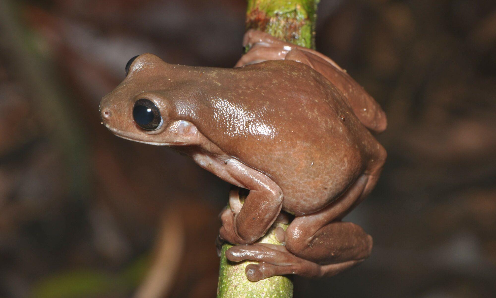 Biólogos descubren nueva especie de rana que parece hecha de chocolate